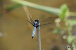 シオカラトンボ:野々井;クリックすると大きな写真になります。