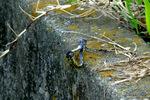 シオカラトンボ交尾;クリックすると大きな写真になります。