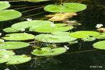 ガガブタの葉で交尾するギンヤンマ;クリックすると大きな写真になります。