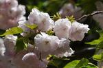 塩竈桜;クリックすると大きな写真になります