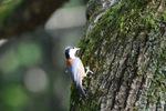 ヤマガラ(野鳥の森):自然文化園;クリックすると大きな写真になります