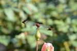リスアカネ:日本庭園;クリックすると大きな写真になります