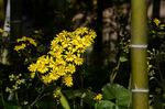 竹林のツワブキ:日本庭園;クリックすると大きな写真になります