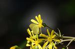 ツワブキにキタキチョウ:日本庭園;クリックすると大きな写真になります