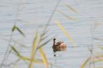 カイツブリ:新旭水鳥観察センター;クリックすると大きな写真になります
