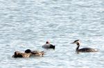 カンムリカイツブリとホシハジロなど:新旭水鳥観察センター;クリックすると大きな写真になります