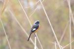 ジョウビタキ♂:湖北水鳥センター;クリックすると大きな写真になります