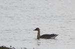 ヒシクイ:湖北水鳥センター;クリックすると大きな写真になります