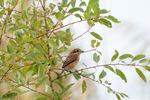 モズ:湖北水鳥センター;クリックすると大きな写真になります
