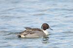 オナガガモ:湖北水鳥センター近くの湖岸;クリックすると大きな写真になります
