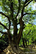 城内には、巨木の楠などがある;クリックすると大きな写真になります。
