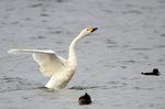 コハクチョウ羽ばたき:湖北水鳥センター近くの湖岸;クリックすると大きな写真になります