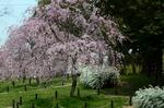 芝生広場横のピンクしだれ梅;クリックすると大きな写真になります