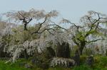 芝生広場横の白しだれ梅;クリックすると大きな写真になります