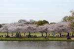 どら池周囲の桜;クリックすると大きな写真になります