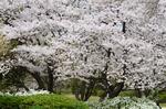 催し広場横の桜;クリックすると大きな写真になります