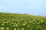 黄色のゆりが一面に:舞洲ゆり園;クリックすると大きな写真になります