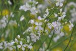 大根の花;クリックすると大きな写真になります