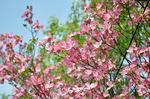 ピンクのハナミズキ;クリックすると大きな写真になります