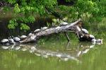 甲羅干しする亀の群れ;クリックすると大きな写真になります