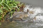 鯉の産卵;クリックすると大きな写真になります