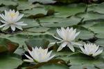 スイレンの花;クリックすると大きな写真になります