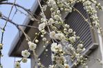 我が家の枝垂れ梅;クリックすると大きな写真になります