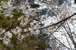 和田川の桜;クリックすると大きな写真になります
