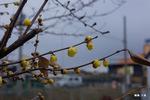 蝋梅の花:大森;クリックすると大きな写真になります。