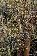 蝋梅の大株:野々井;クリックすると大きな写真になります。