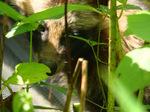 アジサイの茂みにタヌキが;クリックすると大きな写真になります