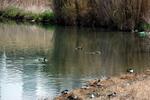 葭原に群れる水鳥:クリックすると大きな写真になります