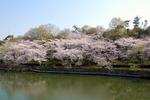 西原公園の桜