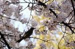 ヒヨドリが満開の桜花を啄みに:クリックすると大きな写真になります