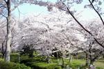 緑道沿いの桜:クリックすると大きな写真になります