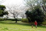原山台公園のタンポポと桜:クリックすると大きな写真になります