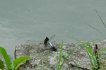 シオカラトンボの交尾:クリックすると大きな写真になります