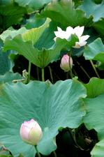 蓮の花:クリックすると大きな写真になります