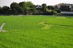 泉北野々井の田んぼ;クリックすると大きな写真になります