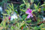 ヤマツツジの花:クリックすると大きな写真になります