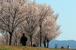 コシノヒガン並木;クリックすると大きな写真になります