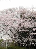 庭代台公園の桜;クリックすると大きな写真になります