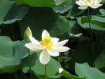 ハスの花;クリックすると大きな写真になります