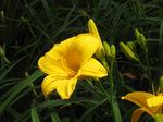 黄色のヘメロカリス;クリックすると大きな写真になります