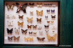 蝶の標本;クリックすると大きな写真になります。