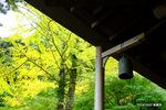 色づいた銀杏:大国寺;クリックすると大きな写真になります。
