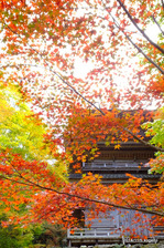 楓の向こうに多宝塔:高源寺(丹波);クリックすると大きな写真になります。
