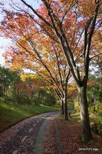 遊歩道の紅葉(ケヤキ?):鴨谷台;クリックすると大きな写真になります。