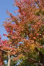 トウカエデの紅葉:鴨谷台;クリックすると大きな写真になります。