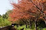 桜の紅葉:鴨谷池;クリックすると大きな写真になります。
